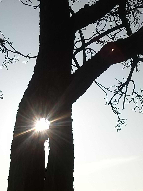 Altbaum mit Sonnenuntergang