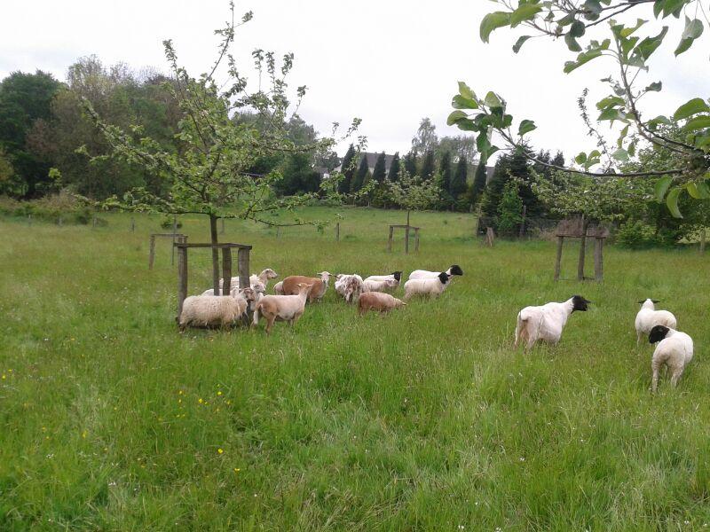 Schafe auf der Obstwiese