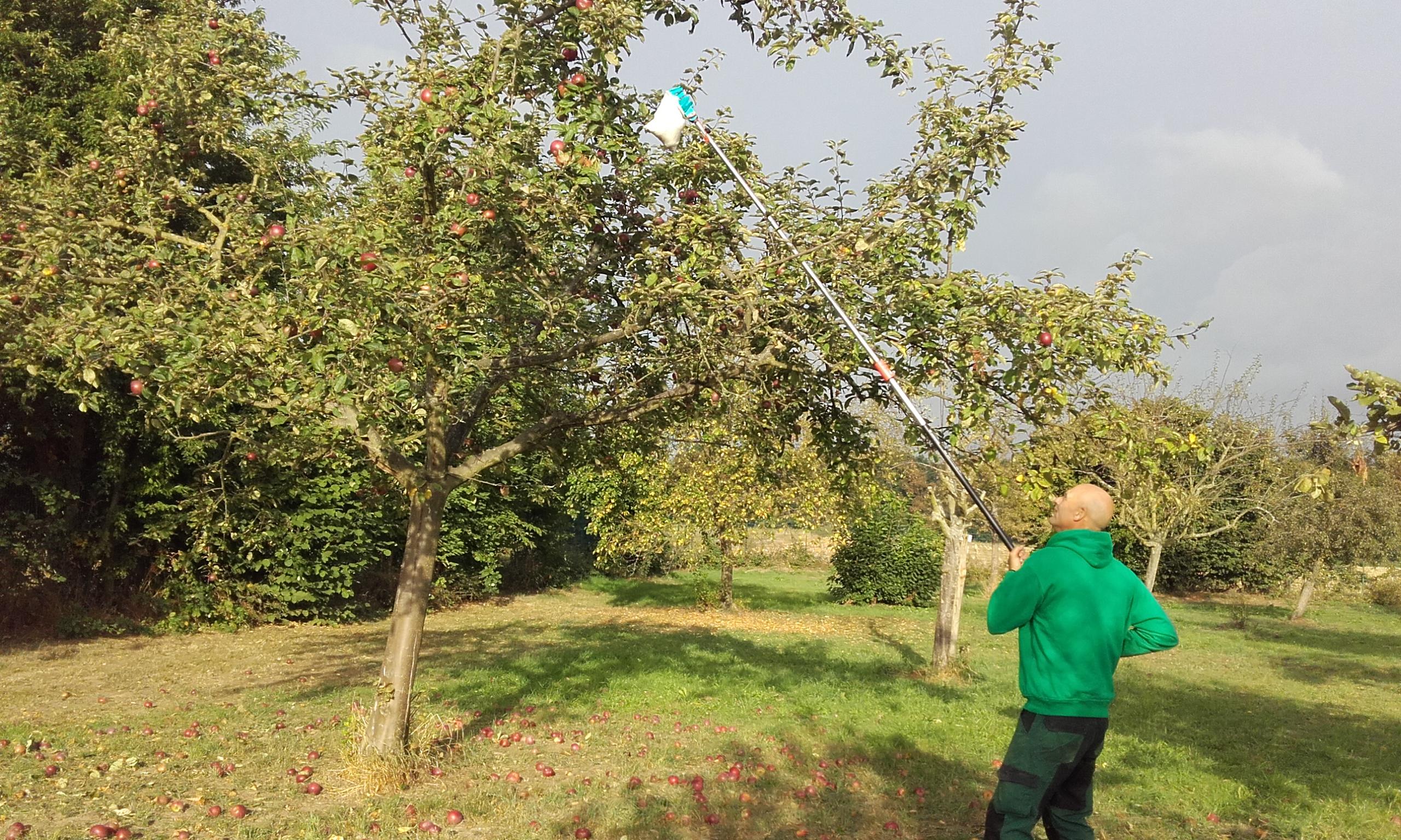 Apfelernte in Köln Auweiler